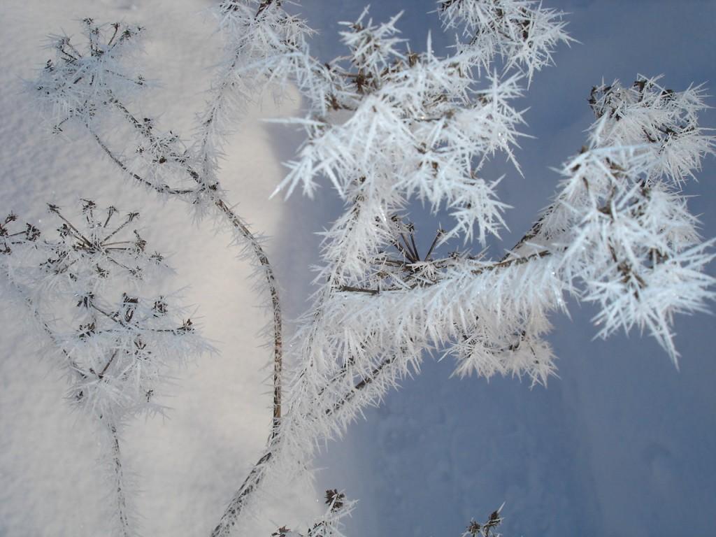 Frostig fröställning i vintersol - en vinter som äntligen kom!