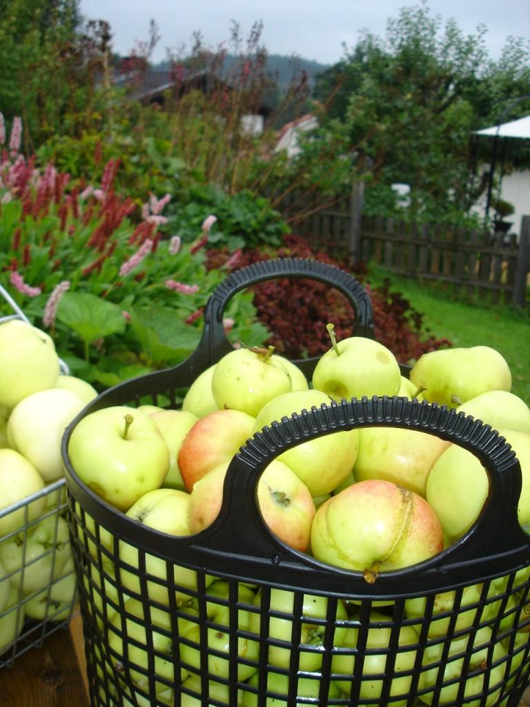 Äpplen från den egna trädgården - värda sin vikt i guld - och otroligt oäckliga!